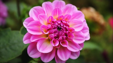 Picture of a dahlia flower. Perfection is all around us in nature... but our own work doesn't need to be perfect.